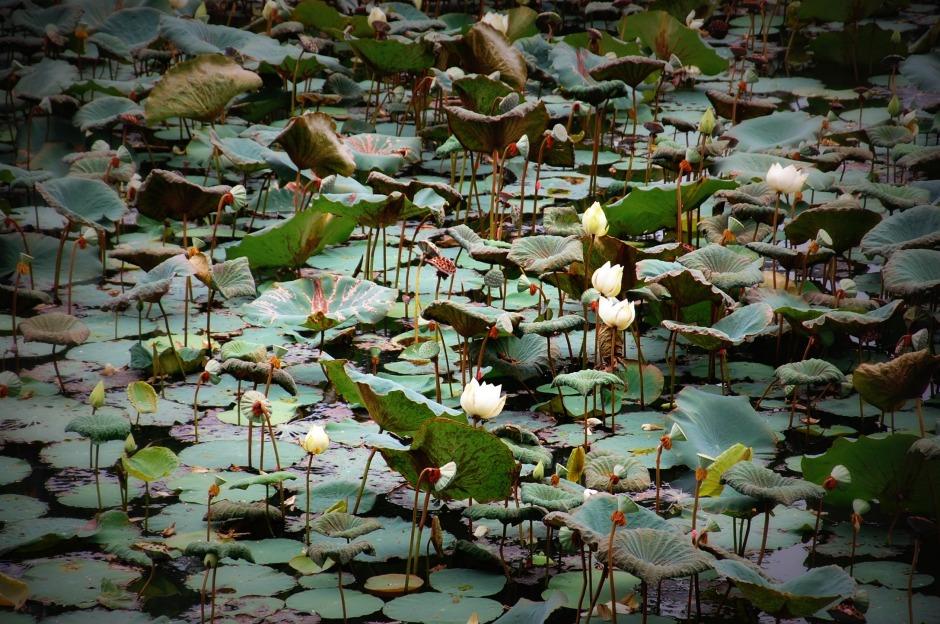 126_lilies